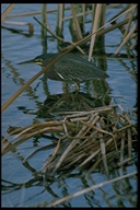 Butorides virescens