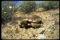 "<strong>Location:</strong> Mojave Desert (San Bernardino County, California, US)<br /><strong>Author:</strong> <a href=""http://calphotos.berkeley.edu/cgi/photographer_query?where-name_full=Gerald+and+Buff+Corsi&one=T"">Gerald and Buff Corsi</a>"