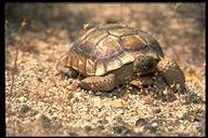 "<strong>Location:</strong> Mojave Desert (San Bernardino County, California, US)<br /><strong>Author:</strong> <a href=""http://calphotos.berkeley.edu/cgi/photographer_query?where-name_full=Gerald+and+Buff+Corsi&one=T"">Gerald and Buff Corsi</a>"