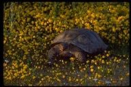"<strong>Location:</strong> Mojave National Preserve, Desert Tortoise Preserve (San Bernardino County, California, US)<br /><strong>Author:</strong> <a href=""http://calphotos.berkeley.edu/cgi/photographer_query?where-name_full=Gerald+and+Buff+Corsi&one=T"">Gerald and Buff Corsi</a>"