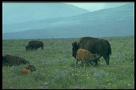 Bison (cow And Calf)
