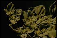Eremocarpus setigerus