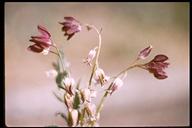 Caulanthus lemmonii