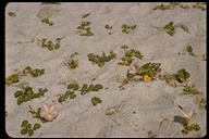 Seashore False Bindweed