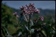 Eriodictyon californicum