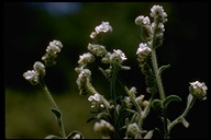 Cryptantha intermedia