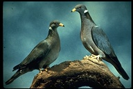 Bandtailed Pigeons