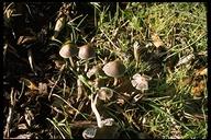 Panaeolus papilionaceus