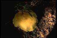 Leucopaxillus giganteus