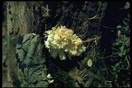 Hericium ramosum