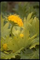 Sanicula arctopoides
