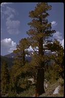 Juniperus occidentalis