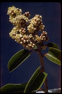 Sugar Bush Or Chaparral Sumac