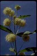 Cephalanthus occidentalis