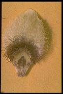 Calochortus elegans