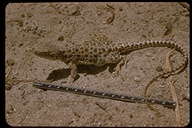 Large-spotted Leopard Lizard