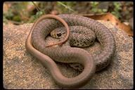 Coluber constrictor mormon