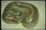 Pituophis catenifer annectens