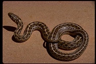 "Female, 39 Inches<br /><strong>Location:</strong> Cochise County (Arizona, US)<br /><strong>Author:</strong> <a href=""http://calphotos.berkeley.edu/cgi/photographer_query?where-name_full=Ted+Brown&one=T"">Ted Brown</a>"