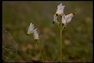 Primula clevelandii var. gracilis