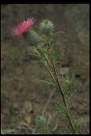 Bull Thistle Or Common Thistle