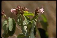 Apocynum androsaemifolium