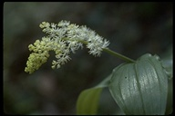 Maianthemum racemosum ssp. amplexicaule