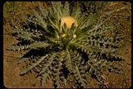 Cirsium sp.