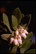 Arctostaphylos tomentosa ssp. bracteosa