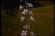 Delphinium gypsophilum ssp. parviflorum