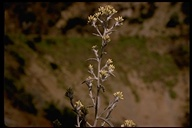 Wright's Cudweed