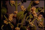 Phoradendron serotinum ssp. macrophyllum