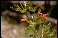 Clinopodium mimuloides