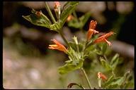 Clinopodium mimuloides