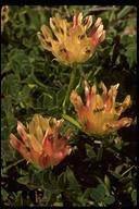Trifolium fucatum