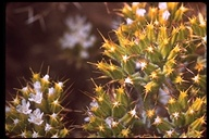 Chorizanthe blakleyi