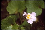 Cymbalaria sp.