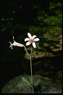 Lilium washingtonianum ssp. washingtonianum
