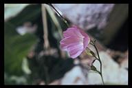 Sidalcea oregana