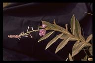 Chamerion angustifolium ssp. angustifolium