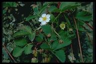 Fragaria virginiana ssp. glauca