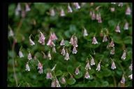 Linnaea borealis ssp. longiflora