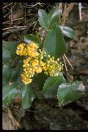 Berberis aquifolium var. repens