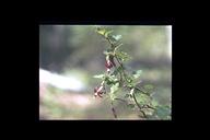 Ribes sp.