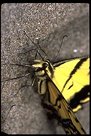 Twin-tailed Tiger Swallowtail