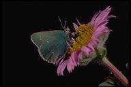 Callophrys viridis