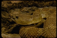 """snake<br /><strong>Author:</strong> <a href=""""http://calphotos.berkeley.edu/cgi/photographer_query?where-name_full=George+W.+Robinson&one=T"""">George W. Robinson</a>"""