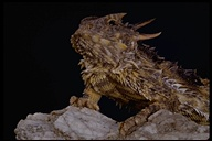 """coast horned toad lizard<br /><strong>Location:</strong> California, US<br /><strong>Author:</strong> <a href=""""http://calphotos.berkeley.edu/cgi/photographer_query?where-name_full=Marguerite+Gregory&one=T"""">Marguerite Gregory</a>"""