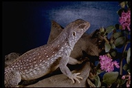 "desert iguana<br /><strong>Author:</strong> <a href=""http://calphotos.berkeley.edu/cgi/photographer_query?where-name_full=Marguerite+Gregory&one=T"">Marguerite Gregory</a>"