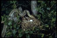"gopher snake<br /><strong>Author:</strong> <a href=""http://calphotos.berkeley.edu/cgi/photographer_query?where-name_full=Alden+M.+Johnson&one=T"">Alden M. Johnson</a>"
